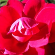ROSE RED NEW MOON